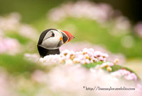Puffin bathing in seathrift :)