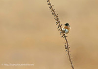 Stonechat in Golden Light