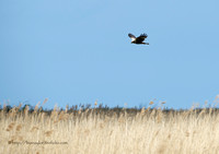 Marsh Harrier Hovering