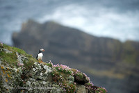 Puffin at Sea