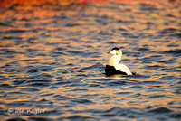 Eider in Sunset Water