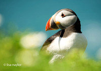 Summer's Puffin
