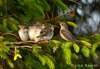 Willow Warbler Family