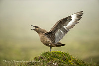 The Great Skua
