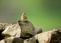 Meadow Pippet on Rock