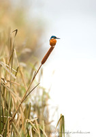 King of the Reeds